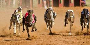 Bet365 Greyhound Betting